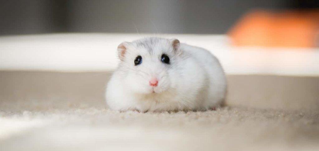 Having A Pet Rat Is Illegal