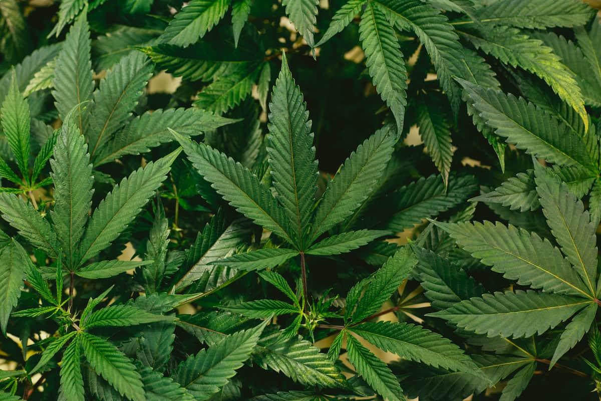 Cannabis Legality